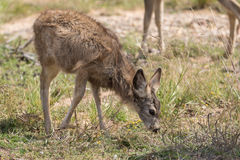 Cerfs communs de mule Fawn Grazing Photos stock
