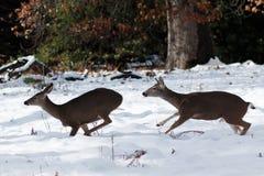 Cerfs communs de mule fonctionnant dans la neige Images stock