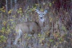 Cerfs communs de mule frôlant dans la forêt Images libres de droits