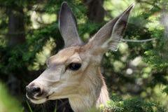 Cerfs communs de mule, hemionus d'Odocoileus Photos stock