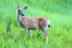 Cerfs communs de mule (hemionus d'Odocoileus) Photographie stock libre de droits
