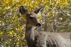 Cerfs communs de mule, hemionus d'Odocoileus Photos libres de droits