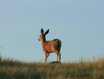 Cerfs communs de mule humides photographie stock libre de droits