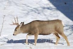 Cerfs communs de mule mâles dans la neige Image libre de droits