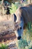 Cerfs communs de mule mangeant l'herbe dans un pré Images libres de droits
