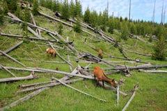 Cerfs communs de mule, stationnement national de Yellowstone Photographie stock libre de droits