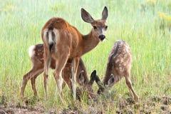 Cerfs communs de mule suivis par noir Photographie stock libre de droits