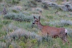 Cerfs communs de mule vigilants photo stock