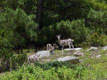 Cerfs communs de musc rares dans une forêt de l'Himalaya de pin Image stock