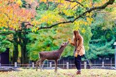 Cerfs communs de Nara à la chute, Japon photo libre de droits