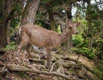 Cerfs communs de Nara image libre de droits
