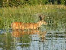 Cerfs communs de natation Image libre de droits