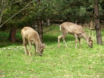 Cerfs communs de paires Photo libre de droits