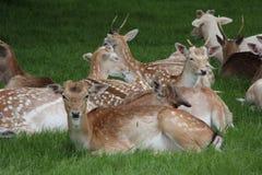 Cerfs communs de parc de Charlecote Photographie stock