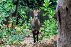 Cerfs communs de pot Photo stock
