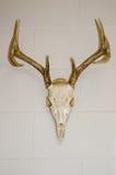 Cerfs communs de queue blanche, bâti européen de crâne Image stock