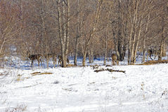 Cerfs communs de queue blanche dans les arbres Photographie stock libre de droits