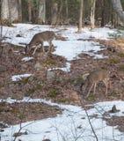 2 cerfs communs de queue blanche en bois Images libres de droits