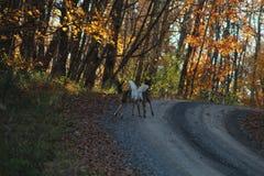 Cerfs communs de queue blanche jouant sur une route arrière en Pennsylvanie Photo stock