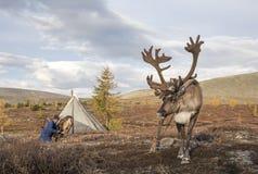 Cerfs communs de rêne en Mongolie du nord photographie stock