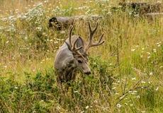 Cerfs communs de repos les cerfs communs mangent une herbe Photo stock