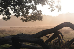 Cerfs communs de Richmond Photographie stock libre de droits