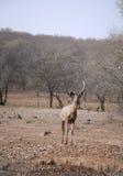 Cerfs communs de Sambar photographie stock libre de droits