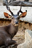 Cerfs communs de Sambar Photo libre de droits