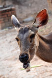 Cerfs communs de Sambar Photo stock