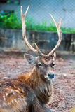Cerfs communs de Sambar Images stock