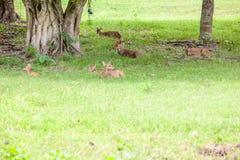 Cerfs communs de Sambar Image libre de droits