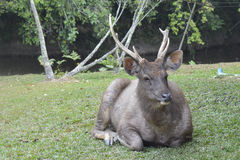 Cerfs communs de Sambar Photos stock