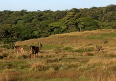 Cerfs communs de Sambar en Horton Plains National Park Image stock