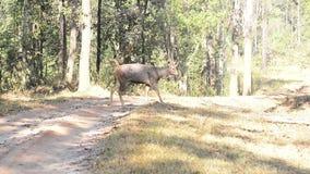 Cerfs communs de Sambar en parc national de forêt, Inde banque de vidéos