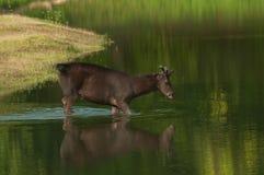 Cerfs communs de Sambar en rivière Photographie stock libre de droits