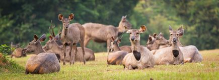 Cerfs communs de Sambar Panorama Photographie stock