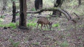 Cerfs communs de Shiloh Ranch Regional California Le parc inclut les régions boisées de chêne, forêts de plantes vertes mélangées clips vidéos