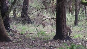 Cerfs communs de Shiloh Ranch Regional California Le parc inclut les régions boisées de chêne, forêts de plantes vertes mélangées banque de vidéos