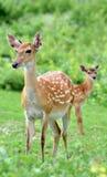 Cerfs communs de Sika Photographie stock