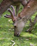 Cerfs communs de Sika Image stock
