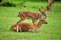 Cerfs communs de Sika Photo stock