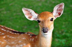 Cerfs communs de Sika Images stock