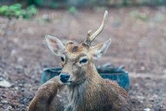 Cerfs communs de Sika Photographie stock libre de droits