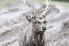 Cerfs communs de Sika photos stock