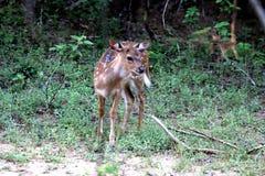 Cerfs communs de Sika de bébé dans Sri Lanka Photos stock