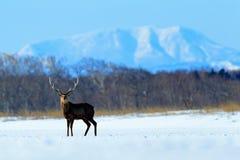 Cerfs communs de sika du Hokkaido, yesoensis du Nippon de Cervus, dans le pré de neige, les montagnes d'hiver et la forêt à l'arr Photographie stock libre de droits