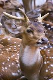 Cerfs communs de Sika me regardant ! -3 Photo stock