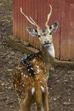 Cerfs communs de Sika me regardant ! 2 Photographie stock