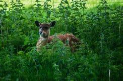 Cerfs communs de Sitatunga Photo stock