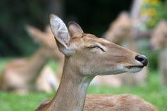 Cerfs communs de sommeil Images libres de droits